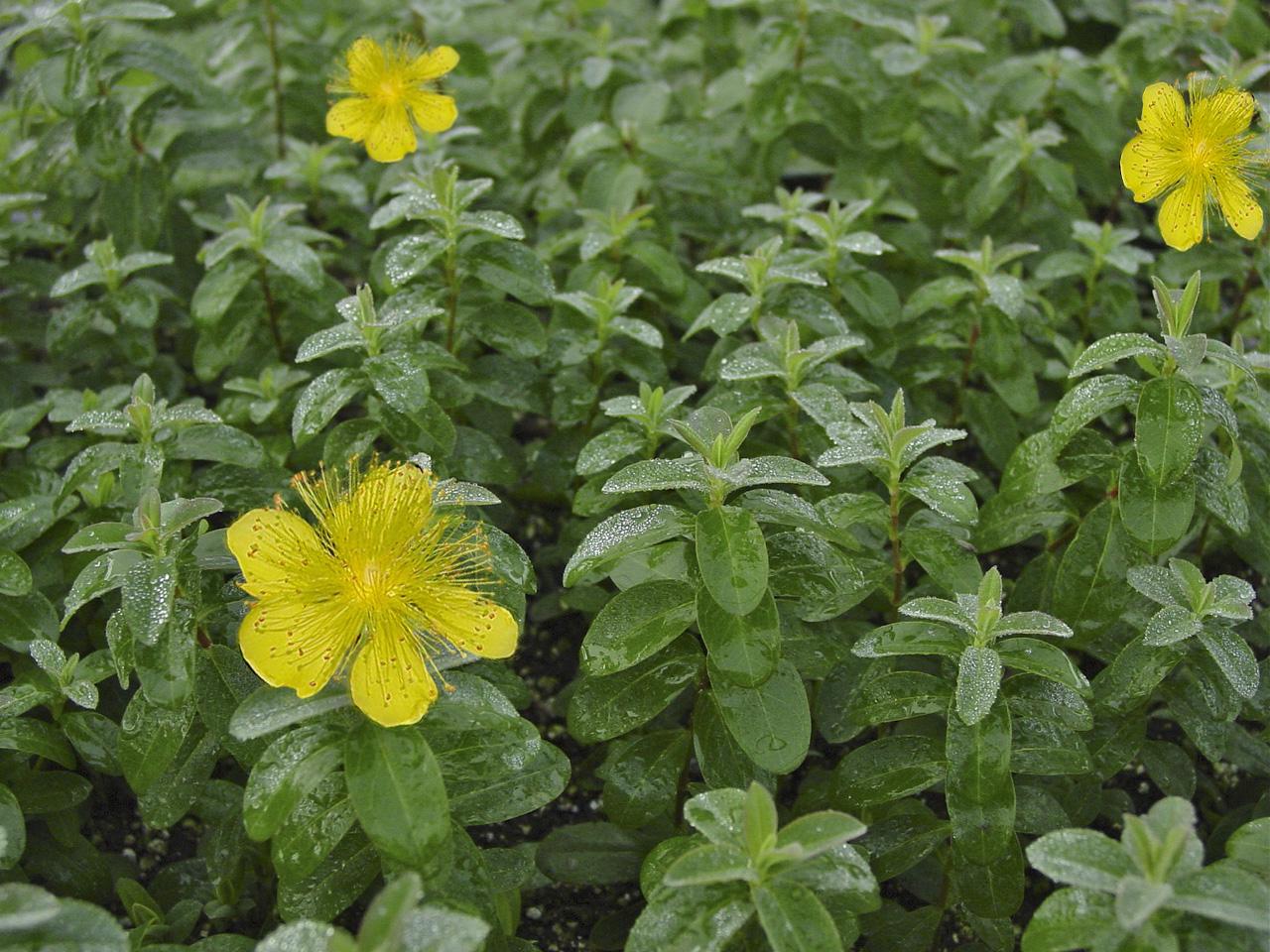 Bright yellow flowers dlt growers hypericum mightylinksfo
