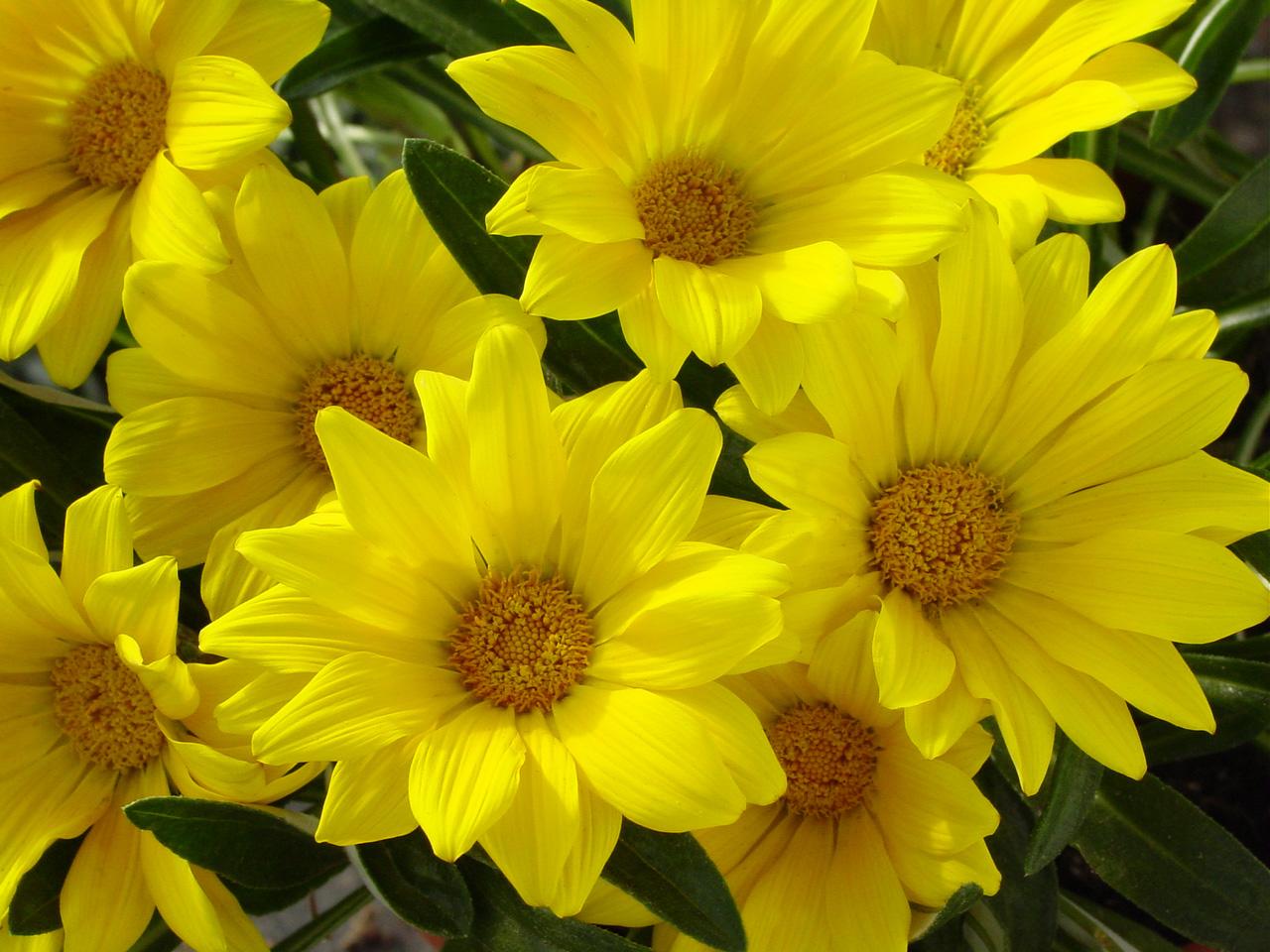 Golden yellow flowers dlt growers gazania trailing green leaf armstrong gold mightylinksfo