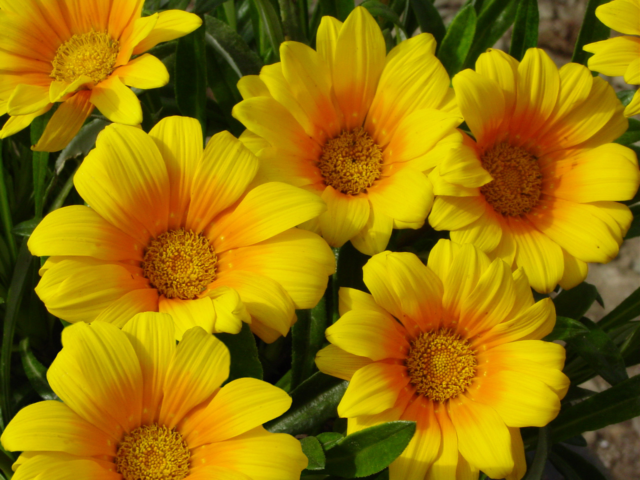 Golden yellow flowers dlt growers gazania trailing green leaf california gold mightylinksfo