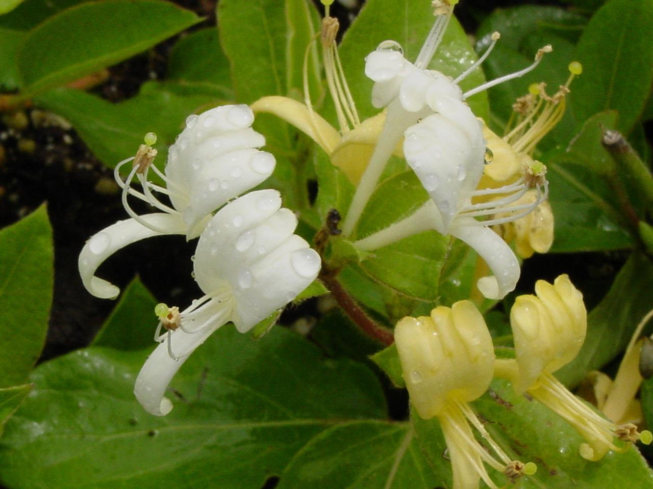 Pure white flowers dlt growers honeysuckle mightylinksfo