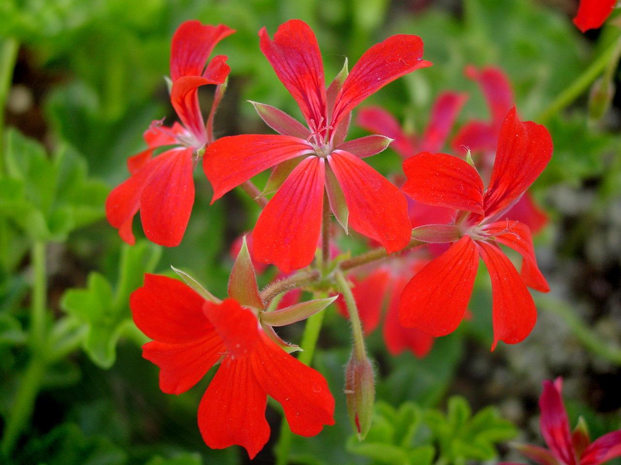 Picture of Live Ivy Geranium Red aka Pelargonium peltatum Plant Fit 5GAL Pot